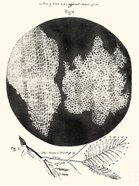 Suber cells and mimosa leaves (Robert Hooke, Micrographia, 1665).